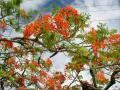 サイパン 火焔樹