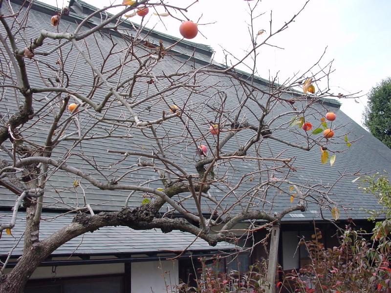 甘草屋敷と柿の木
