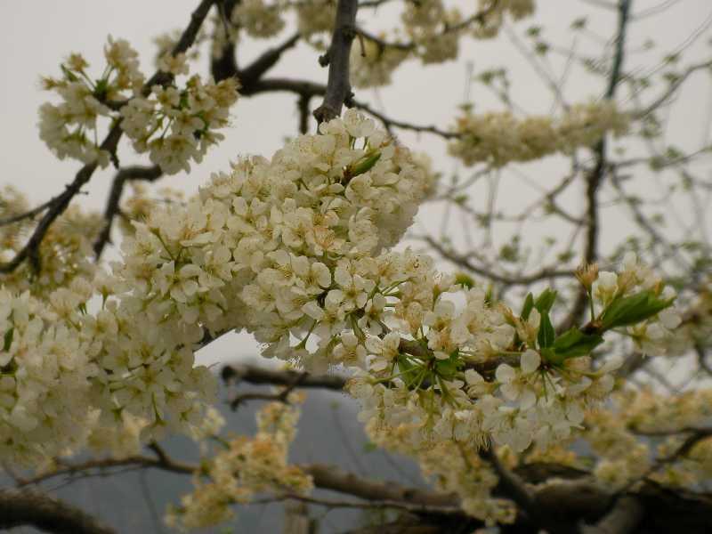 桃の花(白)