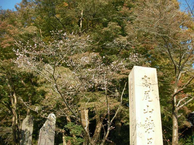 高尾山参道 狂い咲きの桜